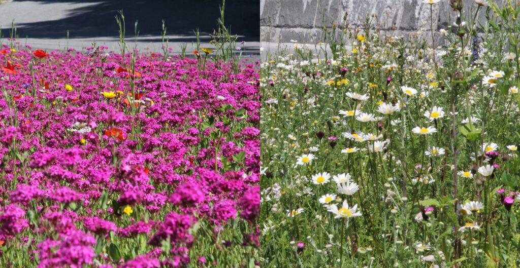 Blumenwiese im 1. und 2. Jahr