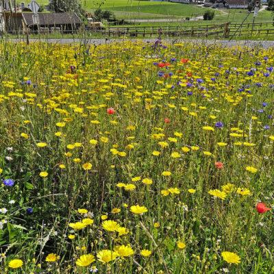 Blumenwiese in der Gemeinde Gnadenwald