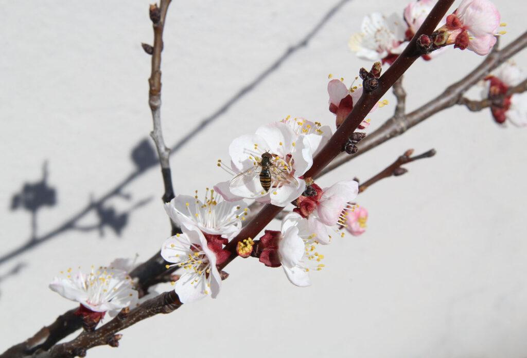 Schwebfliege auf Marillenblüte