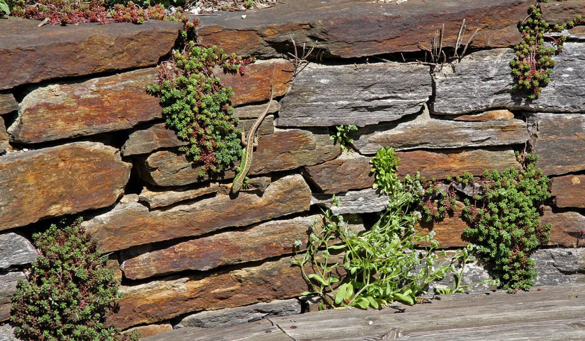 Eidechse auf Trockensteinmauer