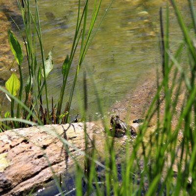 Frosch am Teich