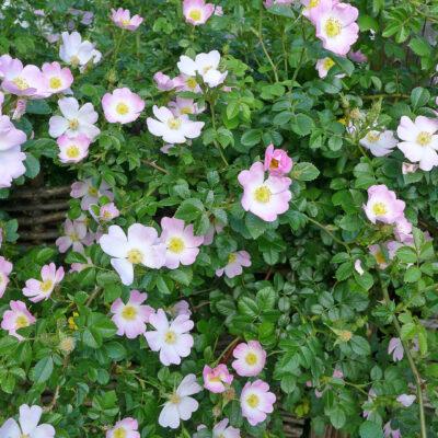 Wildrose auf Weidenzaun